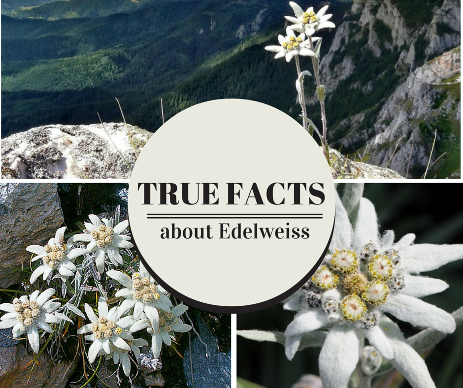true facts about edelweiss  rare dirndl blog, Natural flower